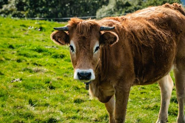山の中で自由に生きる牛。カメラに目を向ける