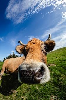 カメラの近くの好奇心の強い牛。広角で変な顔