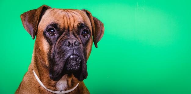 背景にかわいいボクサー犬の肖像画