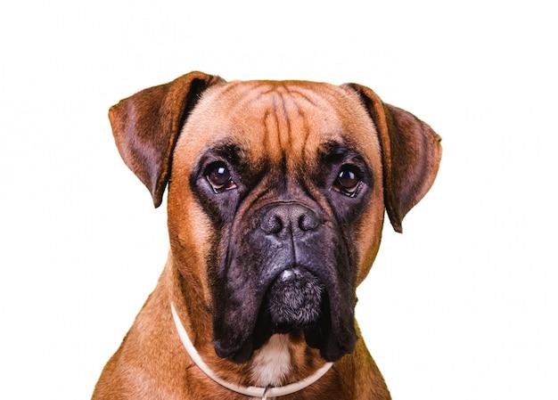 分離されたかわいいボクサー犬の肖像画