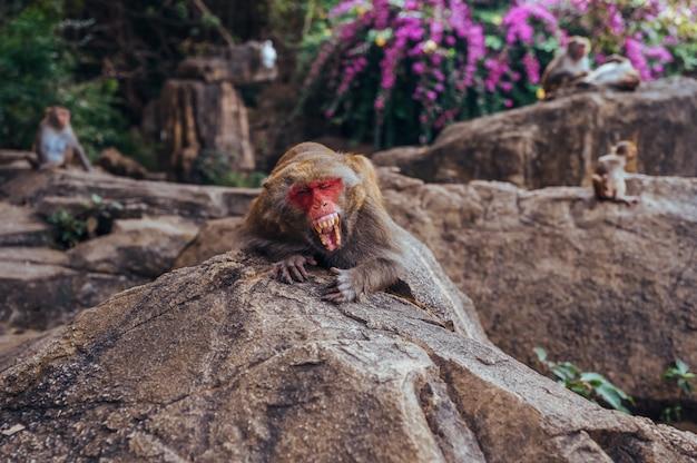 中国海南省の熱帯自然公園にあるアカゲザルの赤毛のリーダーあくびをするアルファ雄は、自然林地域で歯を見せます。危険な動物と野生動物のシーン。マカカ・ムラッタ