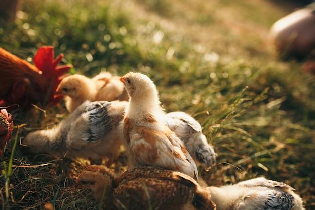 チキンブロイラー。養鶏場
