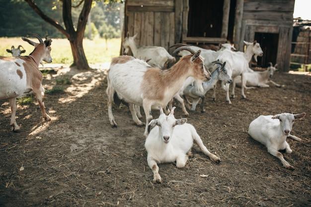 Козы на козьей ферме