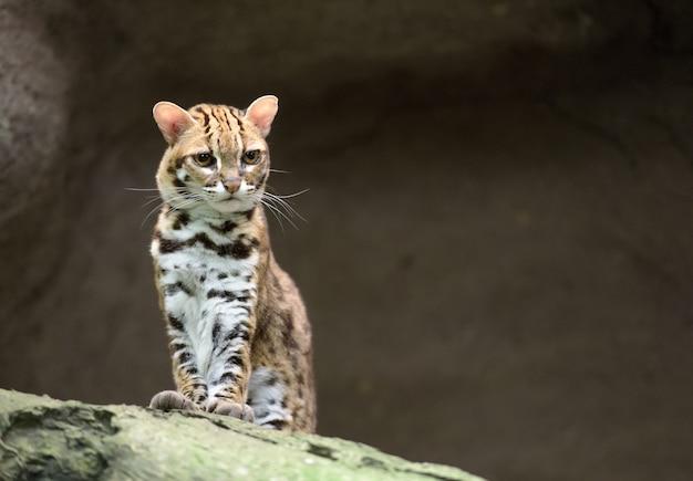 Бенгальский леопардовый кот выглядит недовольным