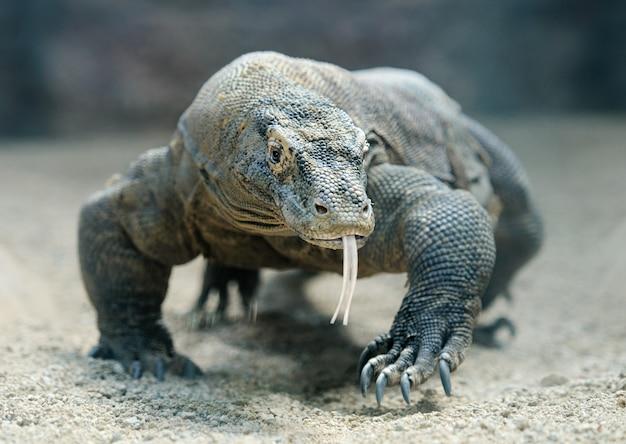 コモドドラゴンが舌を突き出してカメラに向かって歩く