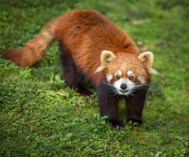 緑の芝生の上のレッサーパンダ