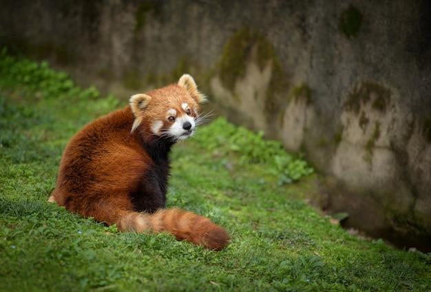 緑の芝生に座っているレッサーパンダ