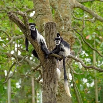 黒と白のコロブスモンキーの家族は熱帯雨林の木に休む