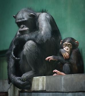 大人と赤ちゃんのチンパンジーは悲しい表情でケージに座っています