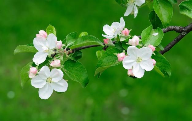 緑の背景に咲くリンゴの木
