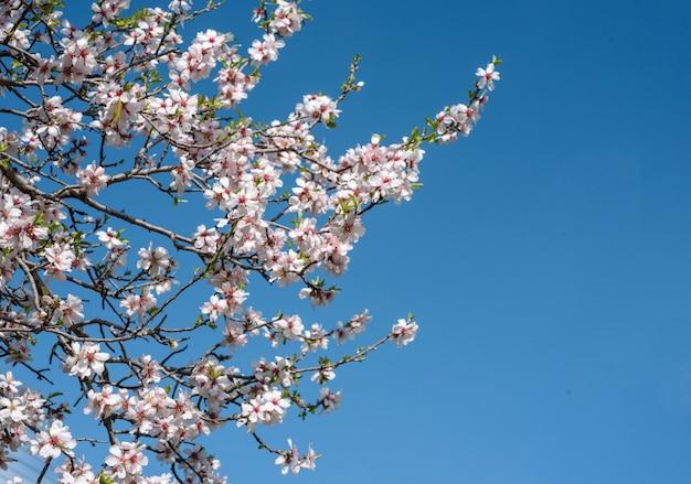 Миндальное дерево цветы в весеннее время против ясного голубого неба.