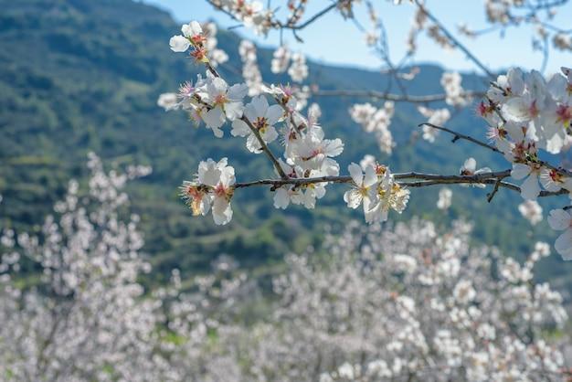 Миндальные деревья с белыми цветами в саду в весеннее время на кипре