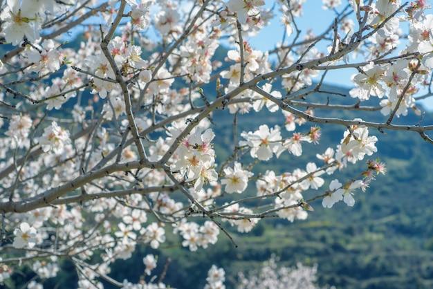 Ветви миндального дерева с белыми цветами в весеннее время
