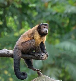 Коричневая обезьяна капуцин