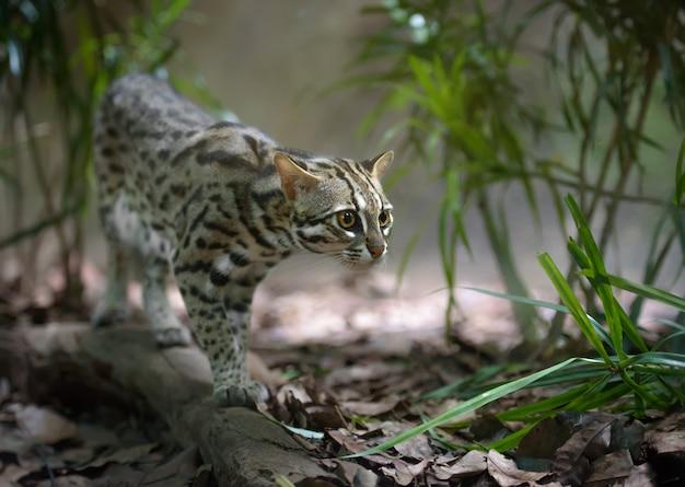 Дикий леопардовый кот охотится в кустах