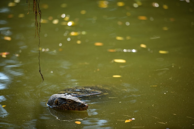 アジア水モニタートカゲは池で泳ぐ