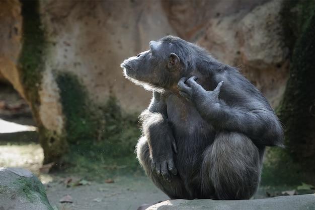 チンパンジー自身を掻く、サイドビューのポートレート