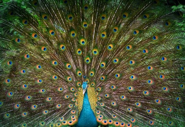 孔雀は彼の美しい尾を表示します