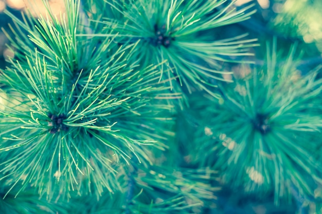 緑の長い杉針と抽象的な背景