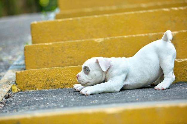 Красивый и милый щенок американского бычка, городские лестницы. концепция первый опыт, первые шаги в жизни.