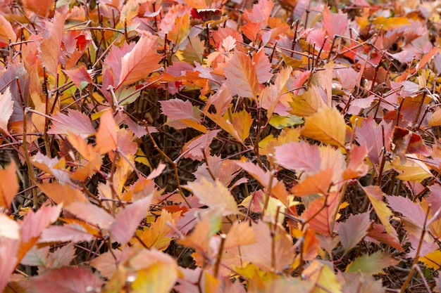 自然環境の中のカラフルで美しい紅葉と枝。オレンジ色の紅葉