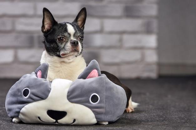 白いレンガの背景に大きなおもちゃで屋内でポーズをとってショートヘアチワワ犬