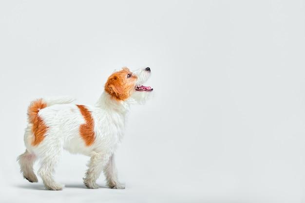 見上げるスタジオで小さな犬。ポートレートペット。子犬ジャックラッセルテリア
