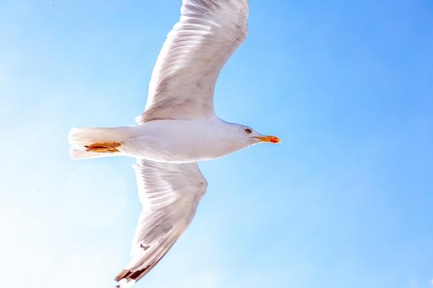 Белая чайка парящая в небе. птичий полет. чайка на фоне голубого неба