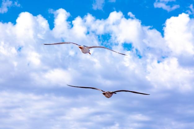 Белые чайки, парящие в небе. птичий полет. чайка на голубом небе