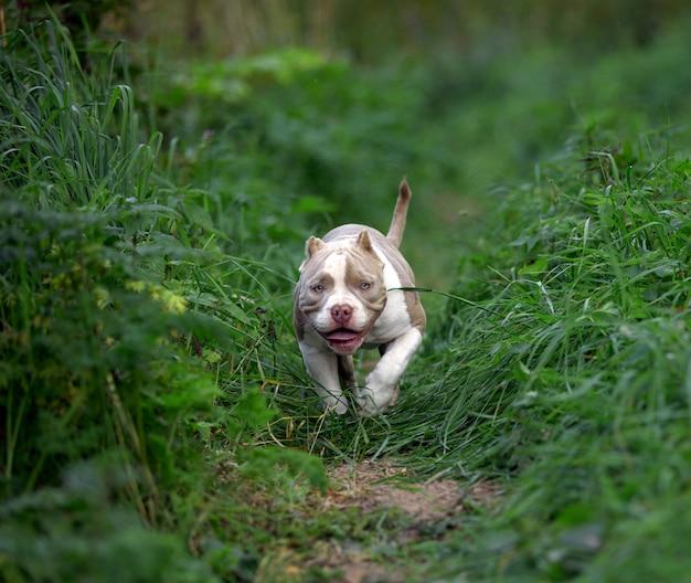 森の中の芝生の緑の草の上を実行しているアメリカのいじめ犬