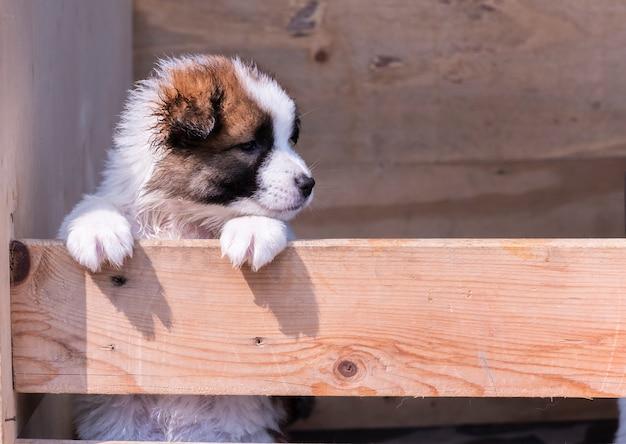 タイのバンケオ犬の子犬
