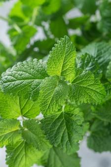 メリッサのオーガニックの新鮮な葉