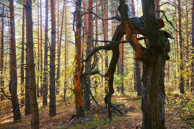 厚い松林の乾燥した小枝を持つツリーをクローズアップ。森林保全地域。自然公園。