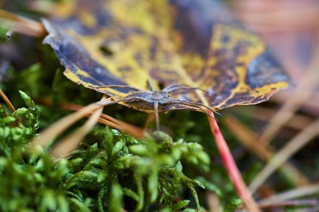 森の秋の葉の上でクロールのクモ