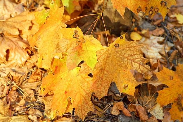 黄色の秋のカエデの葉からの背景。