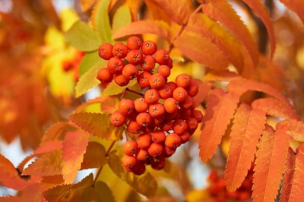日没時の黄色の葉と秋の赤いアシュベリー。