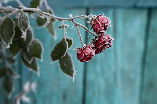 霜で覆われたバラ。