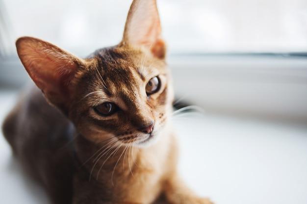 Милый абиссинский котенок сидит на подоконнике.