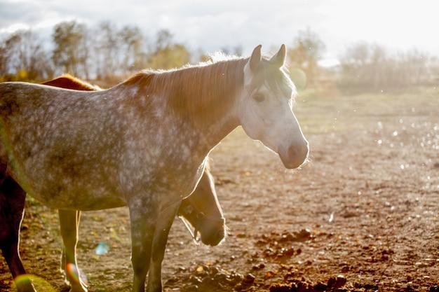 自然、フィールドの夕日に赤い馬