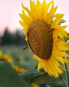 ひまわりに飛ぶ蜂