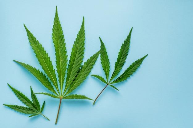 コピースペースを持つ青い表面に麻の新鮮な葉。上面図。