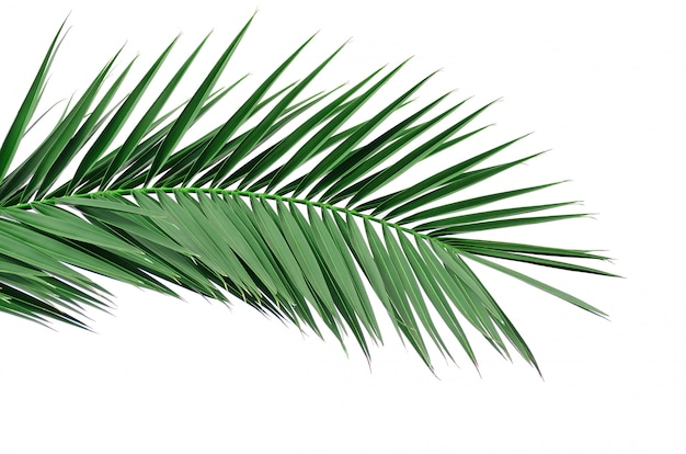 ヤシの木の緑の葉。白を分離