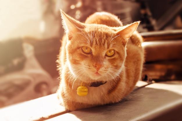 Крупный план рыжий кот, освещенный солнцем