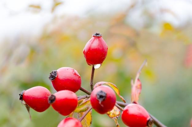 秋の自然な収穫-ブッシュに赤い熟したブライヤー、果実に水滴。コピースペースのための空の場所。