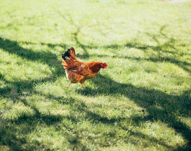 Цыплята во дворе на траве