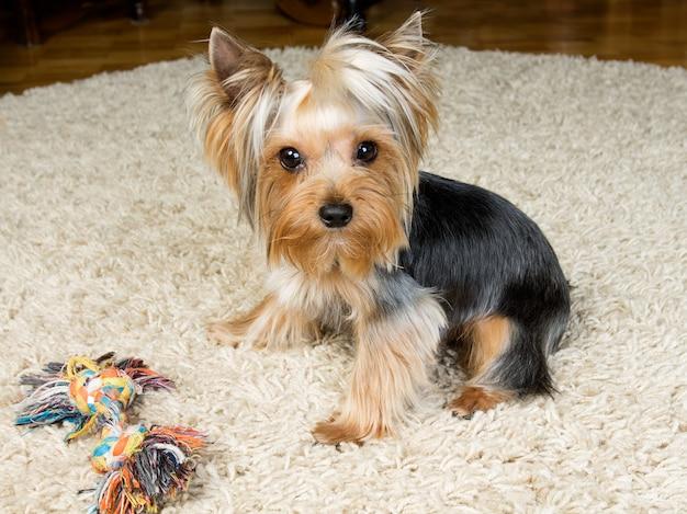 ヨークシャーテリアはカーペットの上でおもちゃで遊んでいます。
