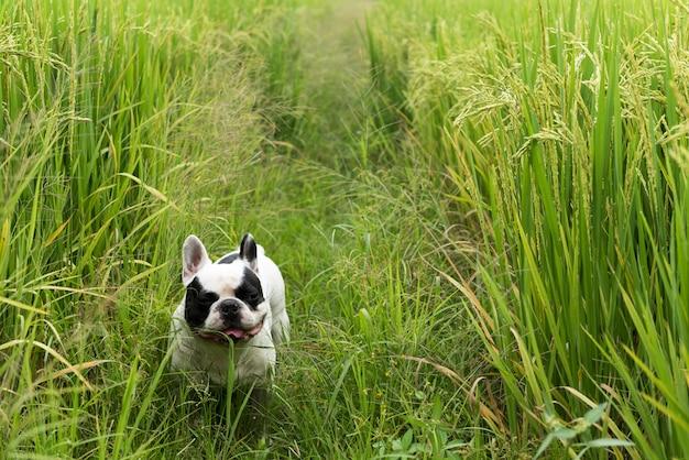 Французский бульдог стоит и смотрит в рисовое поле