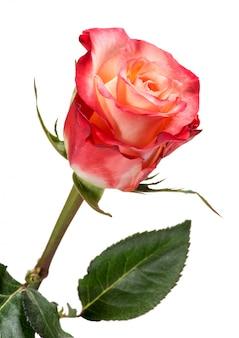 Красная и персиковая роза на белом фоне