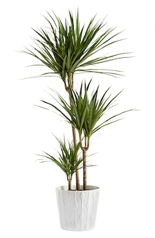 容器に鉢植えのユッカ植物