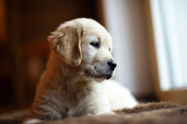かわいい小さなゴールデンレトリーバー子犬思考